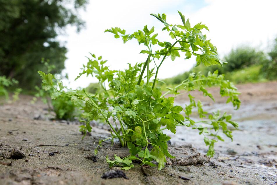 Ein frisch gepflanzter Schierlings-Wasserfenchel steht in Kirchwerder an der Elbe.