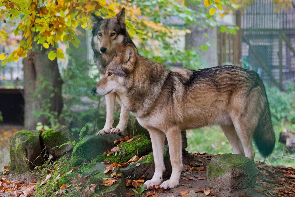 Die Zahl der Wölfe in Sachsen wächst und wächst. 2019 kamen 96 neue Welpen zur Welt. (Symbolbild)