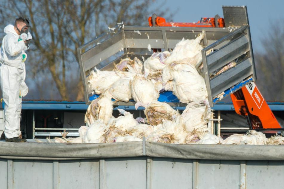 Nach Vogelgrippe-Fall auf Rügen: Experten rufen zu erhöhter Vorsicht auf