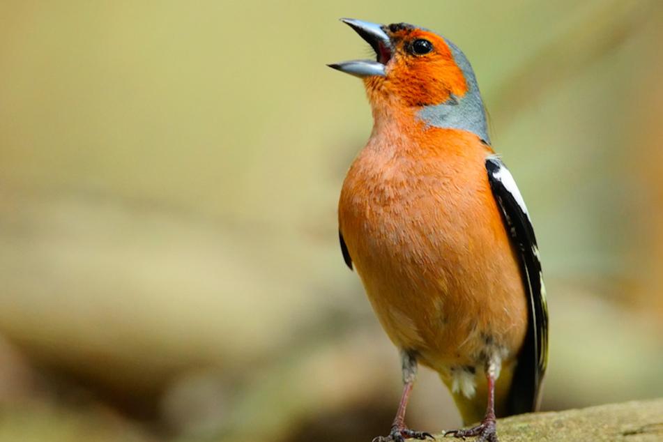 Ein Buchfink sitzt auf einem Ast und singt.