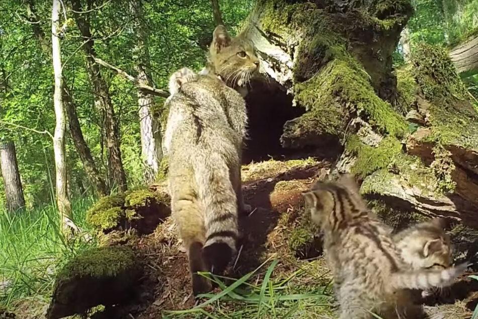 Erstaunliche Aufnahmen aus Deutschland: Wildkatzen-Mutter verteidigt Junge gegen Wolf