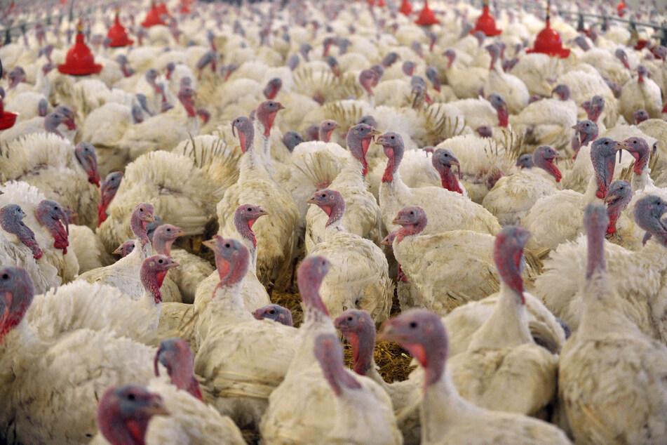 Geflügelpest in Putenzucht nachgewiesen: 11.000 Tiere getötet