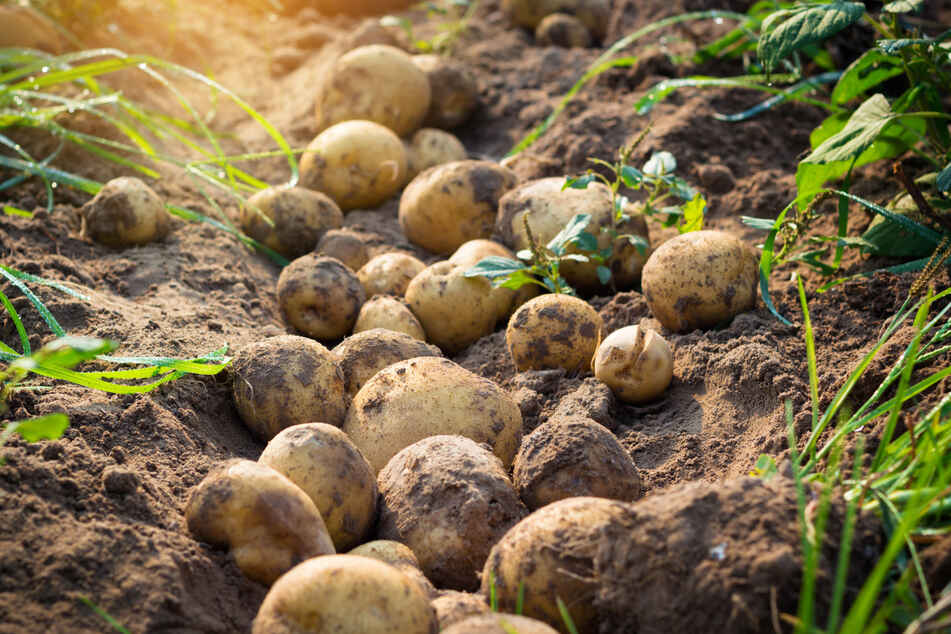 Trockenheit und Parasiten: Durchwachsene Kartoffelernte in Sachsen-Anhalt