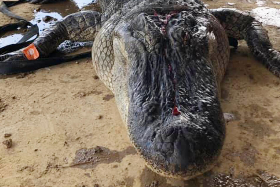 Mississippi hunters make shocking find in the belly of a crocodile