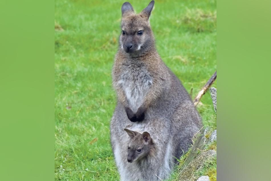 Das Känguru samt Nachwuchs wartet im Tierpark Weißwasser auf Besucher.