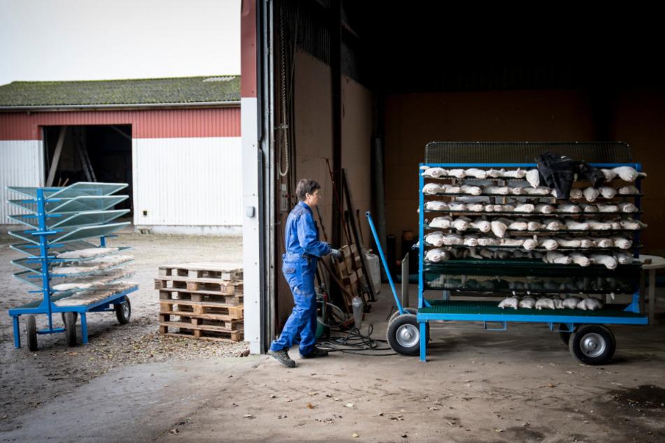 Dänemark, Naestved: Henrik Nordgaard Hansen schiebt einen Wagen mit toten Tieren einer Nerzherde.