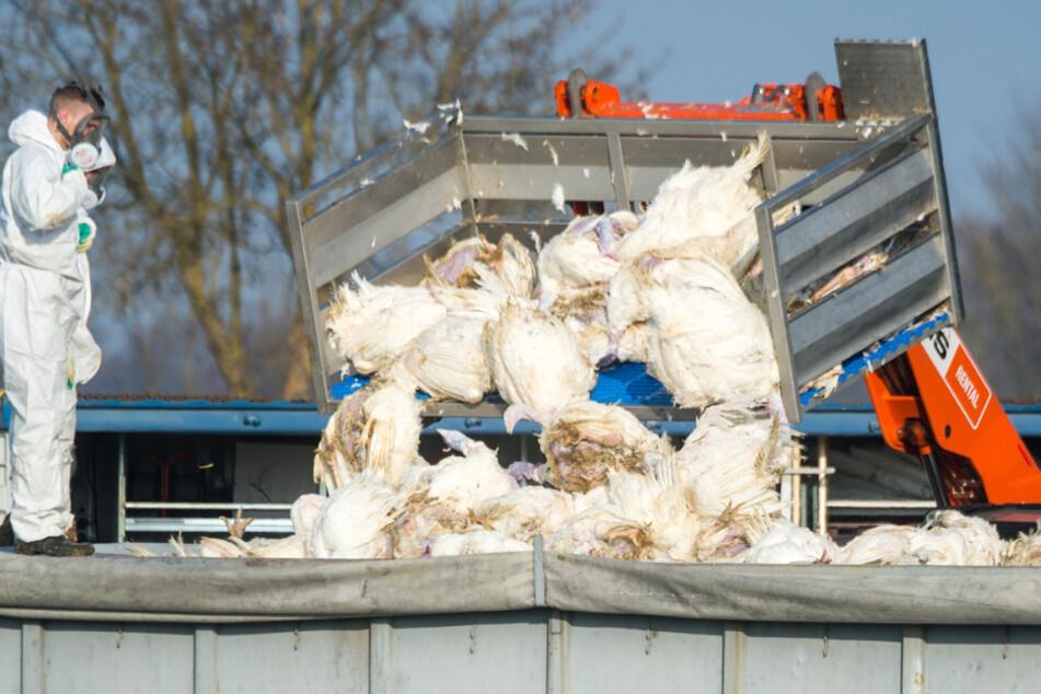 Immer wieder kommt es vor, dass Geflügelzüchter ihre Tiere wegen der Vogelgrippe töten müssen. (Archivbild)