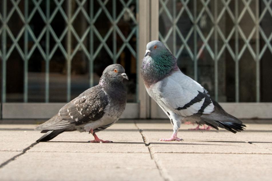Zwei Tauben sitzen in der Innenstadt vor einem geschlossenen Kaufhaus.