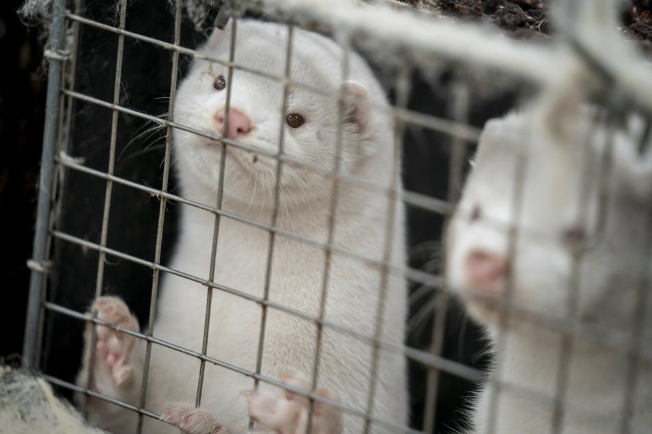 Nerze stehen in ihren Käfigen auf einer Nerzfarm im dänischen Naestved.