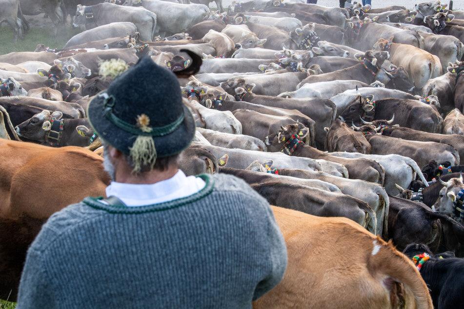 Kühe drängen sich vor einem Viehtreiber in traditioneller Kleidung.