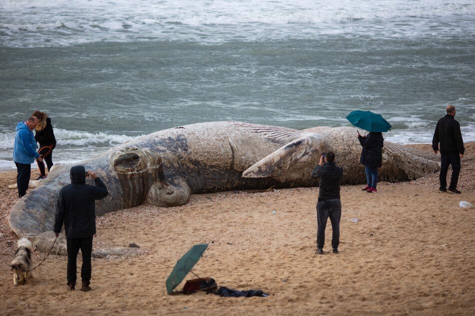 Menschen stehen um einen jungen Finnwal, der tot an einen Strand südlich von Tel Aviv geschwemmt wurde.