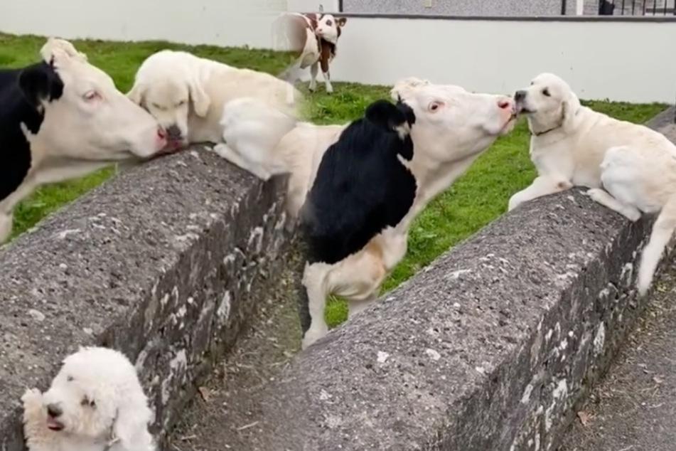 Hund trifft Kuh nach Monaten wieder: Seine Reaktion bringt viele zum Weinen