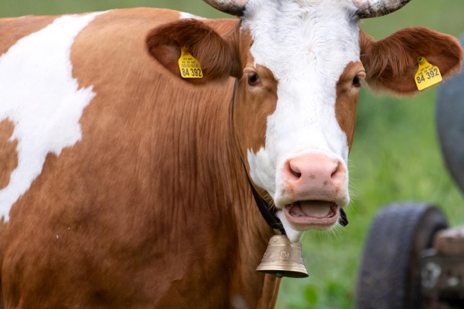 Dreiste Diebe klauen Kuh-Glocken: Polizei steht vor Rätsel