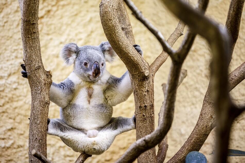 Ein Koala im Dresdner Zoo, möglicherweise bei Dehnübungen während des Frühsports.